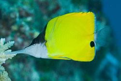 BD-150421-Maldives-7434-Forcipiger-longirostris-(Broussonet.-1782)-[Longnose-butterflyfish.-Näbbfisk].jpg